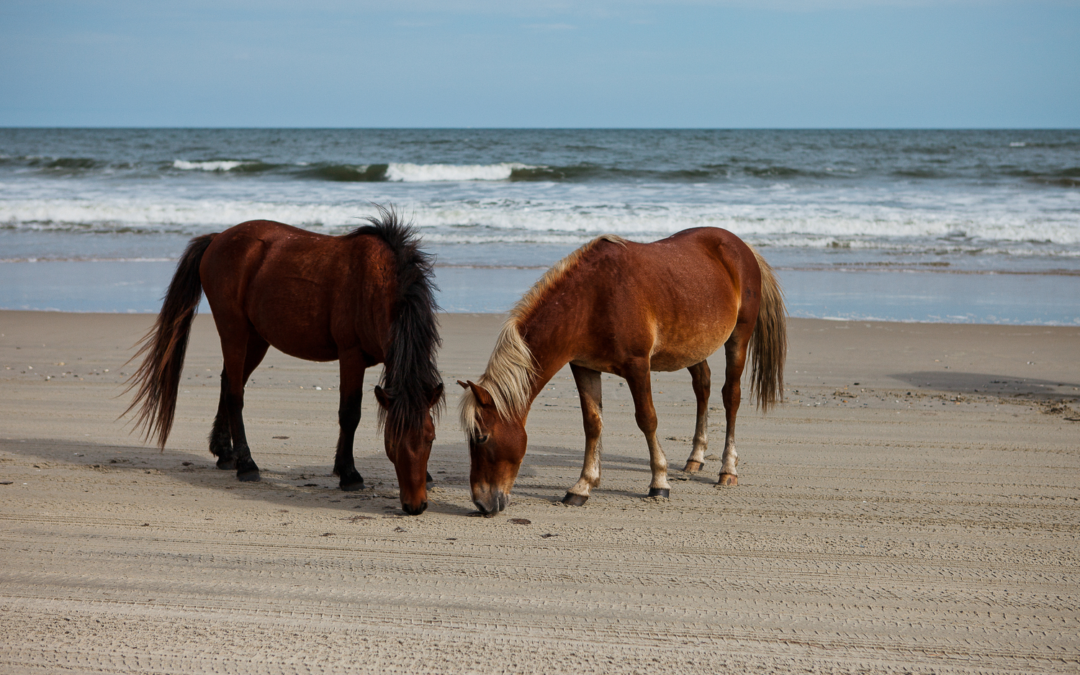 Wild Horses / Outer Banks Tours: Perfect for Viewing Local Wildlife
