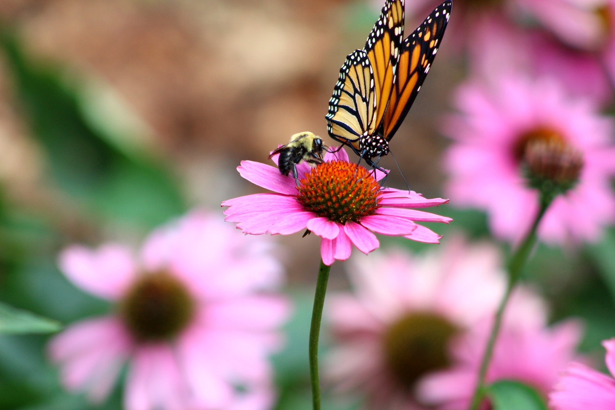 Spring Events on the Outer Banks 2021, showing a butterfly on a flower at Elizabethan Gardens